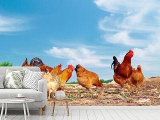 farm yard chickens