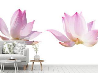 pink lotus waterlily