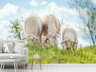 Grass feed sheep