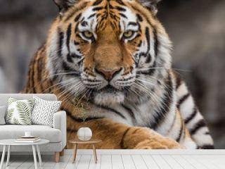 Frontal close up view of a Siberian tiger (Panthera tigris altaica)