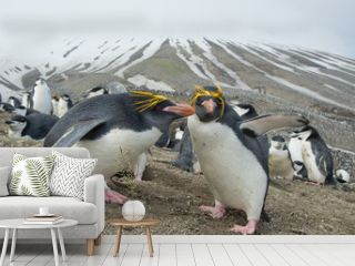 Pair of Macaroni penguins with egg with snowy lines in background, Zavodovski Island, South Sandwich Islands, Antarctica