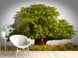 Afrikanischer Baobab, Affenbrotbaum