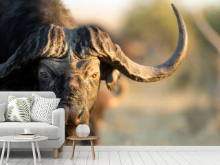 Buffalo in Bushveld
