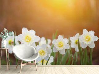 White daffodils in sunset light. Instagram filter.