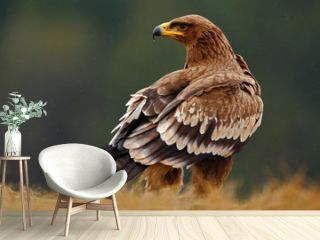 Steppe Eagle, Aquila nipalensis, sitting in the grass on meadow, forest in background, Norway