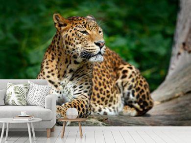 Sri Lankan leopard, Panthera pardus kotiya, Big spotted cat lying on the tree in the nature habitat, Yala national park, Sri Lanka