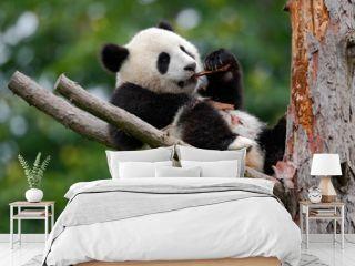 Lying cute young Giant Panda feeding feeding bark of tree