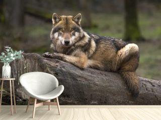 Le loup gris
