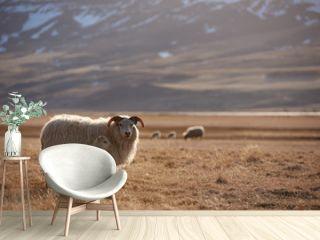 iceland sheep portrait