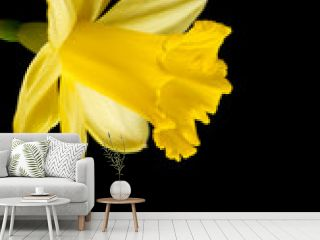 Yellow daffodil on a black background