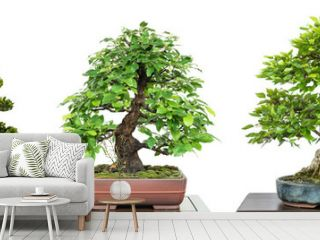 Bonsai Laubbäume auf einer Ausstellung im Panorama