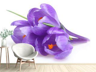 Spring flowers crocus isolated