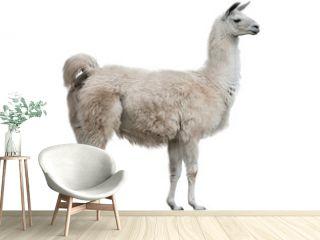 lama isolated