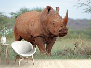 A white rhinoceros (Ceratotherium simum) in natural habitat, South Africa.