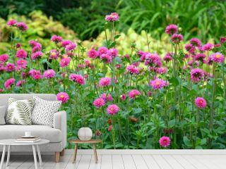 Pink dahlia garden