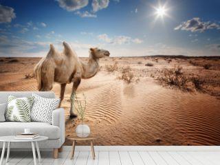 Bactrian camel in the desert