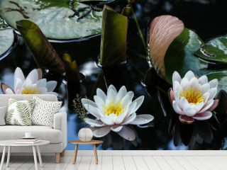 Three pale pink water lilies with reflections