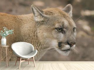 Kanadischer Puma