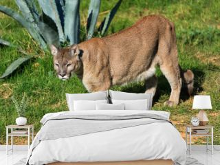 Cougar (Puma concolor) walking at a zoo
