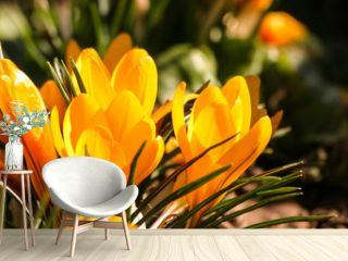 Beautiful orange crocus flowers on a natural background in spring