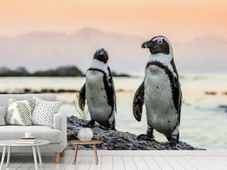 African penguin on the coast of the ocean in sunset. African penguin ( Spheniscus demersus) also known as the jackass penguin and black-footed penguin. Boulders colony. Cape Town. South Africa