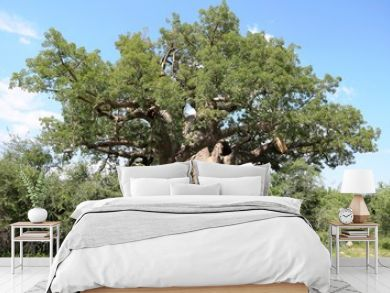 Adansonia digitata in Bwabwata National Park in Namibia, Africa