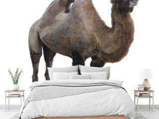 Bactrian camel  (Camelus bactrianus) on white background isolated