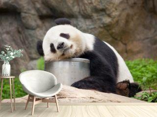 Großer Panda beim Mittagsschlaf