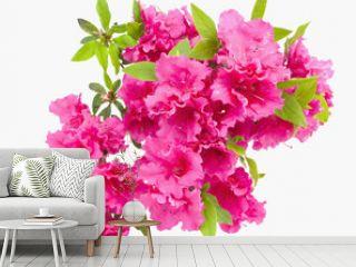 Isolated pink spring azalea