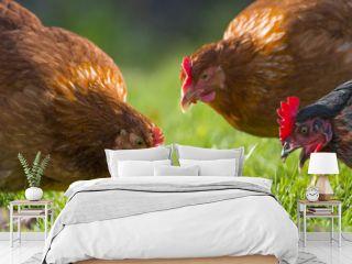 hens in the garden on a farm - free breeding