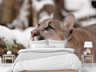 Neugieriger Junger Puma