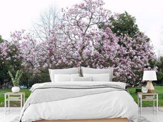 Pink magnolia tree in spring in full bloom