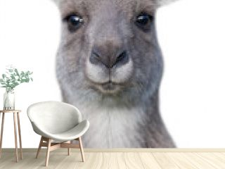 Young curious kangaroo with white background