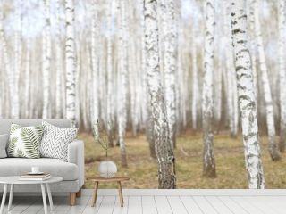 White birch grove in the spring. background