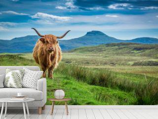 Grazing highland cow in Isle of Skye in Scotland