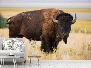 American Bison Buffalo