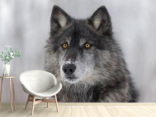Black Phase Grey Wolf (Canis lupus) Portrait