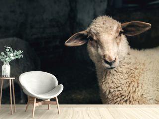 Sheep lamb in farm barn