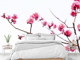 pink sakura cherry blossom isolated