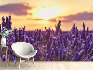 Lavender closeup on the background of the setting sun.Lavender in the sunset rays of the sun.Lavender field at sunset,Provence,France.Beautiful background with lavender and sunset.
