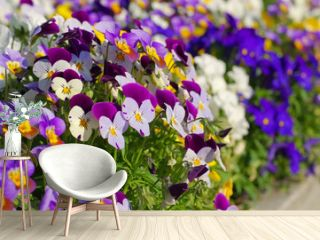 Stiefmütterchen - pansy flowers in spring