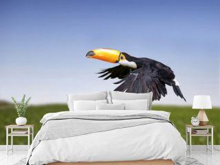 Toucan, a tropical bird