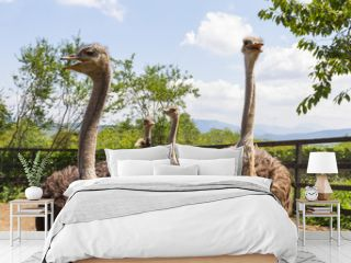 Four Ostrich in a Fenced Area on the Farm.