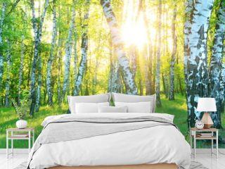 Birch Grove. Dawn in the forest. Sun rays.