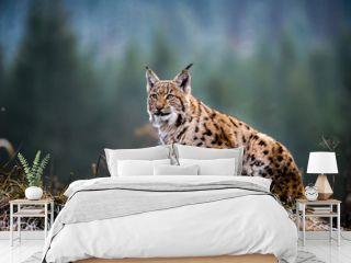 Eurasian lynx, winter