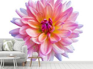 Beautiful pink dahlia Dahlia. Dahlia flower. Dahlias isolated on white background