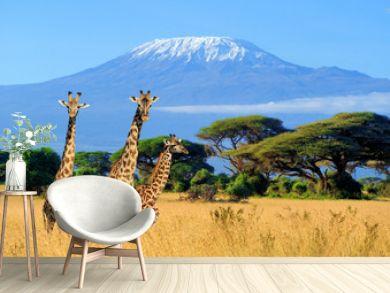 Three giraffe in National park of Kenya