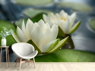 Lovely flowers White Nymphaea alba, commonly called water lily or water lily among green leaves and blue water