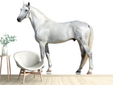 The gray beautiful horse Orlov trotter breed standing  isolated on white background. side view