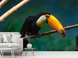 Toco toucan or Ramphastos toco sits on branch